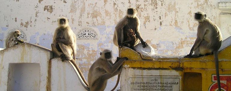 Indija majmuni