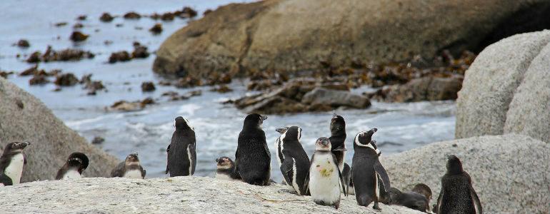 Africki pingvini